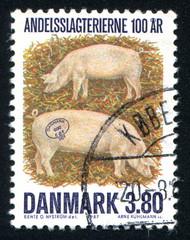 Denmark pig