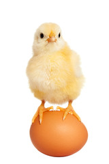 Adorable little chick isolated
