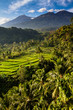 Rice fields and Trees with Mt. Rinjani-Lombok,Asia