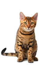 bengal cat sitting on white