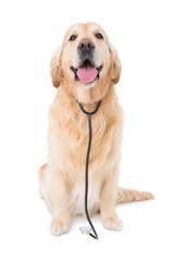 Dog with stethoscope looking at camera