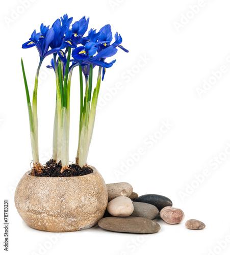 Foto op Aluminium Iris Irises isolated