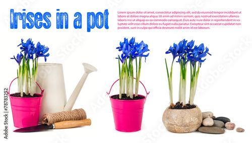 Papiers peints Iris Irises isolated