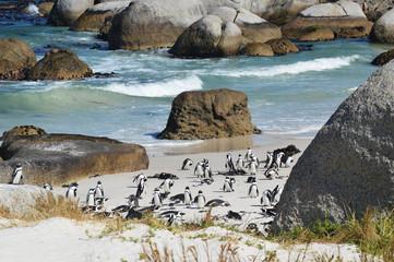 pingouins Boulders plage cap de bonne espérance - Afrique du sud