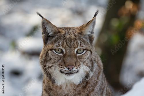 Fotobehang Lynx Eurasischer Luchs, Wildpark Pforzheim