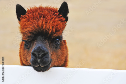 Papiers peints Lama Alpaca Ranch