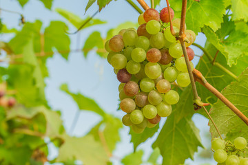 fresh and young green grapes