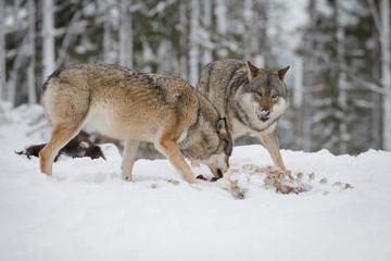 Grey wolves at moose carcass