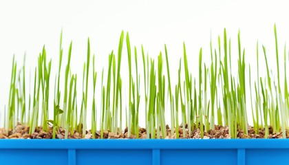 green grass growing timelapse, isolated on white background