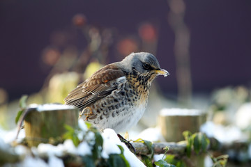 fieldfare(Turdus pilaris)  on a fence