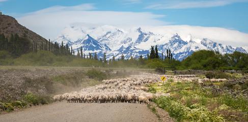 Transhumance de mouton en Patagonie