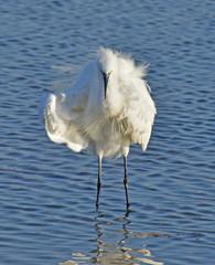 portrait of white egret