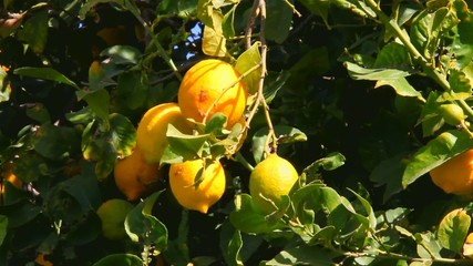 Lemon tree branch with leaves  and fruits