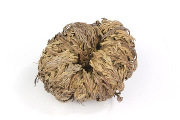 Rose of Jericho on white background