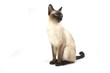 Thai cat, traditional siamese cat on white backrgound