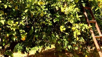Harvesting in the lemon garden