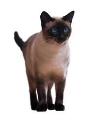 Standing Siamese cat