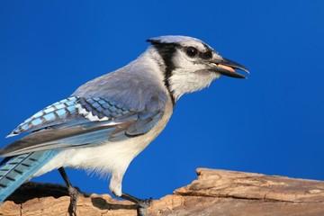 Blue Jay (corvid cyanocitta) on a stump