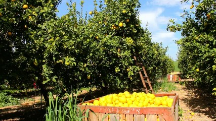 Harvesting in the lemon garden.
