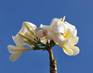 Rangipani plumeria Spa Flowers