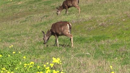 Blacktail Deer Doe Grazing