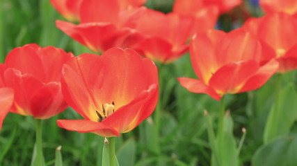 red tulips closeup , beautiful spring floral background