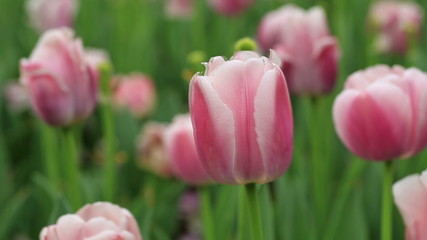 pink tulips closeup in the park , spring floral background