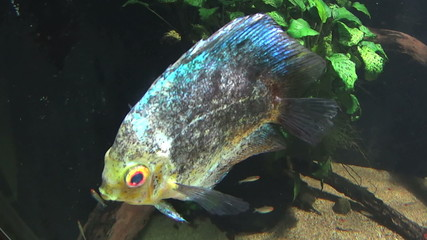Beautiful blue spotted discus fish swimming underwater.