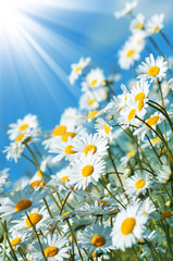 Beautiful daisies in the sun on the sky background