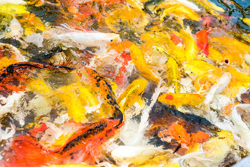 Koi fish in pond,colorful natural background