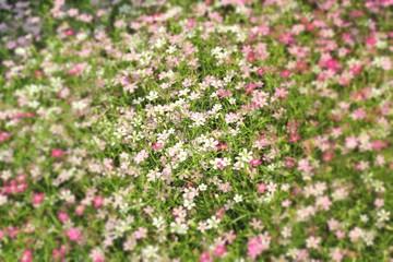 Gypsophila flowers - pink flowers in nature