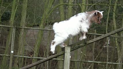 Kleine Ziege klettert