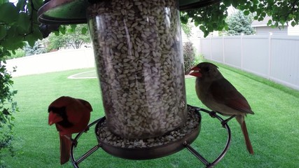 Red Northern cardinal birds eating seed from feeder