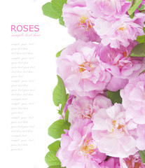Pink roses background isolated on white