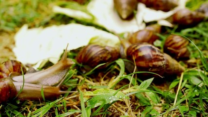 Closeup of many crawling, loving and eating Snails in the grass