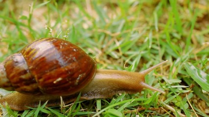 Closeup of crawling and eating Snail in the grass. Macro video