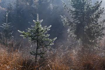 little spruce trees in fog