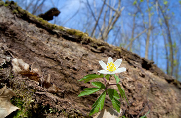 white anemone flower in forest