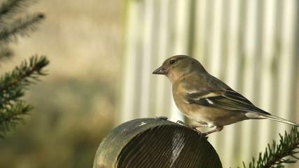 Buchfink, Weibchen
