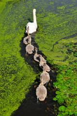 Mother and Baby Ducks in Kinderdijk, Netherlands