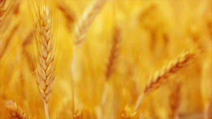 Golden Yellow Wheat Ears in Agricultural cultivated field