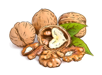Walnut. Vector illustration.