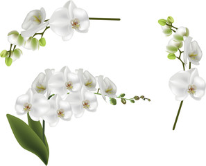 set of isolated white large orchid flowers