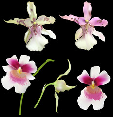 lilac and white five orchids on black