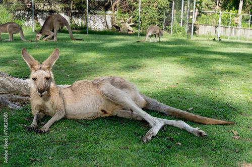 Poster Kangoeroe Kangaroos in zoo, Australia