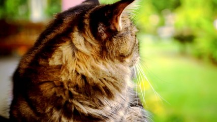 Maine Coon cat macro video with motion and approximation