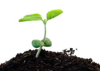 green soybean