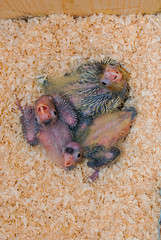Three baby cockatiels inside a nest box