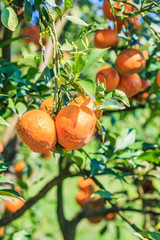 Organic orange tree at the farm