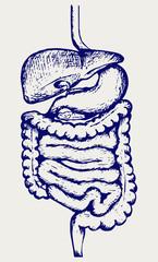 Internal human digestive system. Doodle style